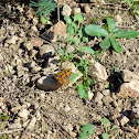 Wall Brown Butterfly(Lasiommata Megera)