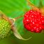 Philippine Wild Raspberry