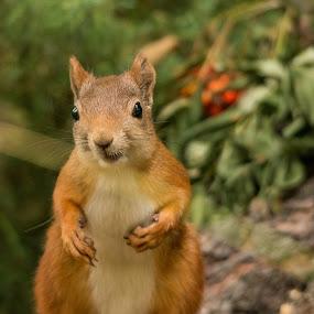 Squirrel by Rita Birkeland - Animals Other ( forrest, cute, woods, squirrel, norway, eyes )