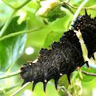 The Southern Birdwing caterpillar