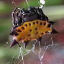 Crab-looking Spider