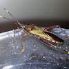 Broad Headed Bug