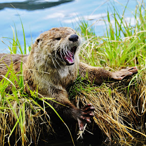 River Otter Stretch by Linda Labbe - Animals Other ( water, otter, look at me attitude., smiles, animal )