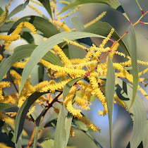 Central Queensland Flora