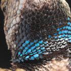 Eastern Fence Lizard (Male)