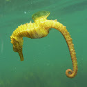 Seahorse. Caballito de mar