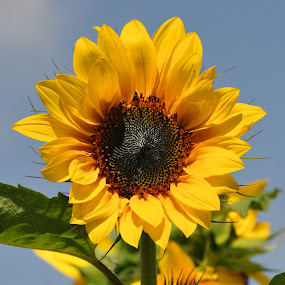 Sunflower on a bright Summer day by Betty Arnold - Flowers Single Flower ( field flower, sunflower, bright flower, flower, yellow flower, , Hope, blue, orange. color )
