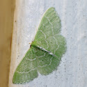 Geometrid Moth - Emerald - Blackberry Looper
