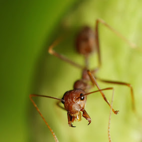Kerengga by aRie Fitri - Animals Insects & Spiders ( semut, insects, ant, kerengga )