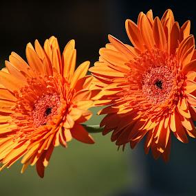 Two Orange Flowers by Chris KIELY - Flowers Flower Arangements ( crysanthemum, orange, beautiful, flowers, flower, , Flowers, Flower Arrangements )