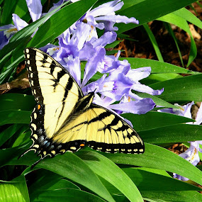 Swallowtail by Kenny Fendler - Animals Insects & Spiders