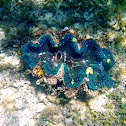 Giant Clam or Gigas Clam