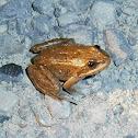 Oregon Spotted Frog