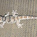 Barking gecko