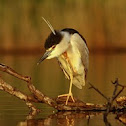 Night heron, adult