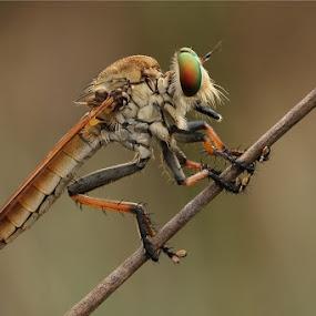 by Joel  Pangoe Rihingan - Animals Insects & Spiders