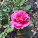 Grandiflora Rose 'Fame'