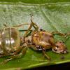 Green Ant (queen)