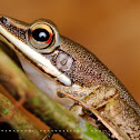 Copper Cheeked Frog