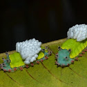 Blue-nosed caterpillar