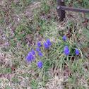 grape hyacinth.