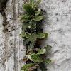 Rustyback fern