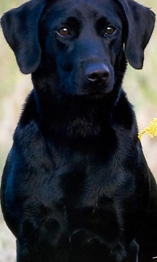 Labrador Retrievers Wallpapers