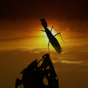 The Dancing Mantis by Ardika Septyawan - Animals Insects & Spiders ( dancing, macro, sunset, wildlife, mantis,  )