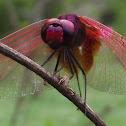 Crimson Marsh Glider