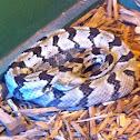 Timber Rattlesnake (Canebrake)