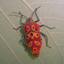 Mallotus Shield Bug