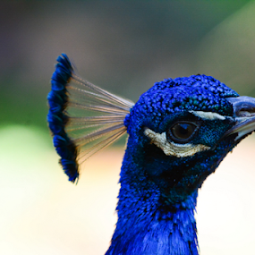 ...I see you... by Angeline JoVan - Novices Only Wildlife ( bird, color, blue, peacock,  )