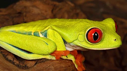 【免費解謎App】Kurbağa Yapbozları-APP點子