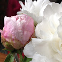Chinese herbaceous peony 芍药