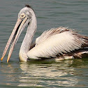 spot billed pelican or grey pelican