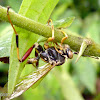 Ichneumon wasp infected by fungus