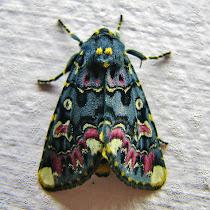 Moths of Maharashtra