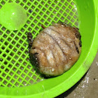 Sea Pork