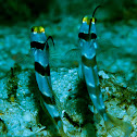 Black ray shrimp goby