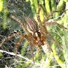 Grass spider (female)