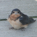 Barn Swallow juvenile