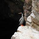Red-legged Cormorant - Cormorão de Pernas Vermelha