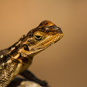 Red-headed rock agama (♀)
