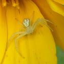 Green Crab Spider on False Sunflower