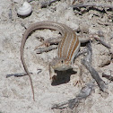 Red-tailed Spiny-footed Lizard?
