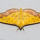 Crambid moth Botyodes asialis