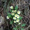 Primrose, primavera