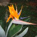 Strelitzia reginae/Birds Of Paradise