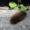 Woolly Bear Moth Caterpillar (Isabella Tiger Moth)