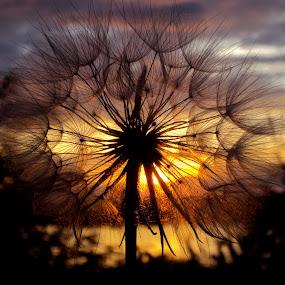 by Svetlana Micic - Nature Up Close Other plants ( macro, lighting, dandelion, sunset, beauty, sun )